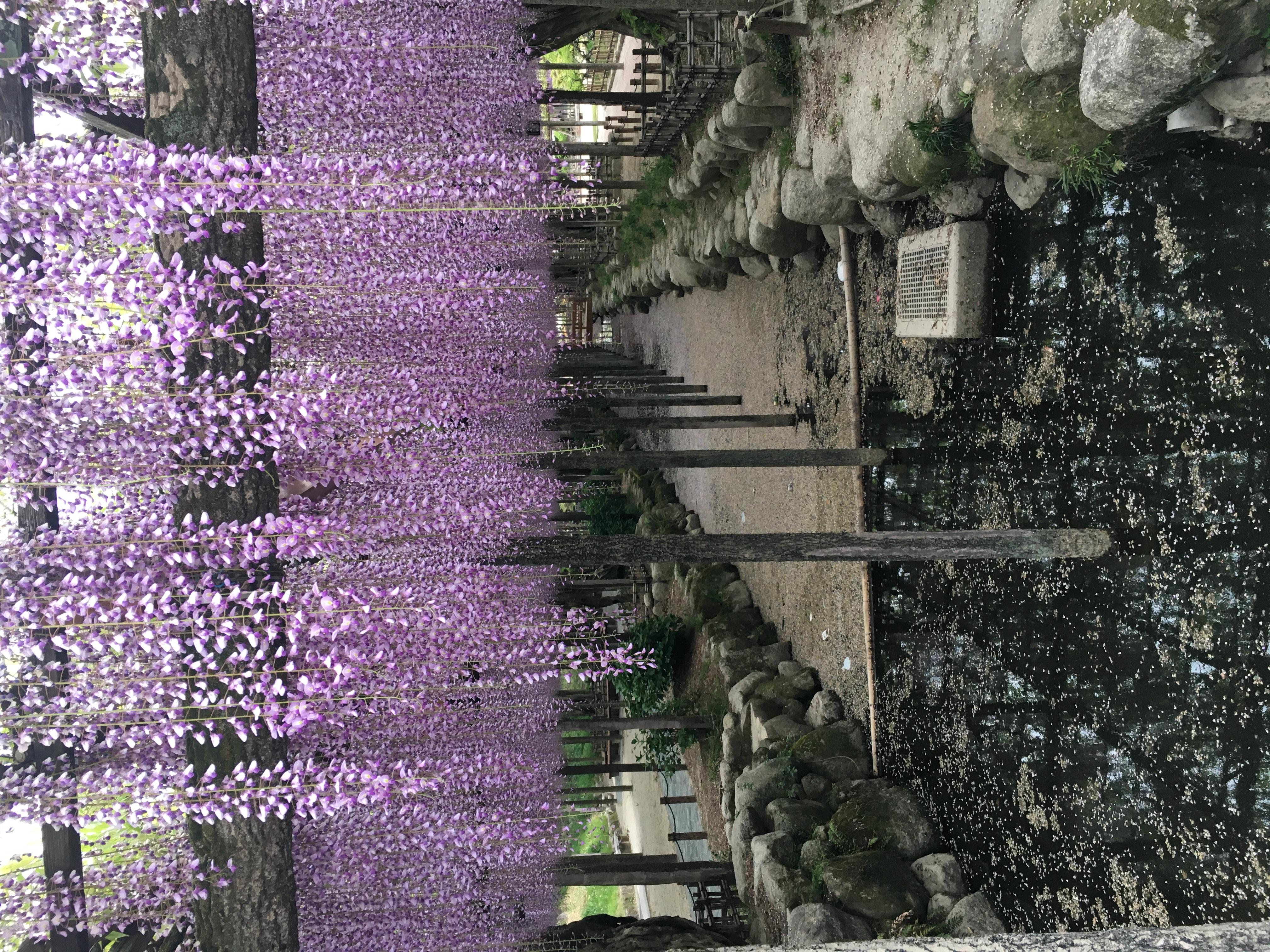 天王川公園藤棚